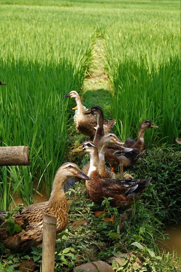 Canards dans des domaines de riz photographie stock