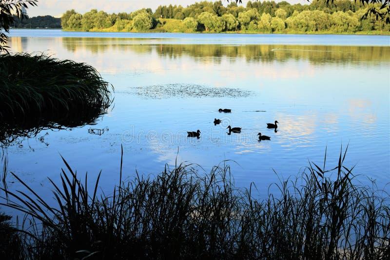 Canards dans l'étang image stock