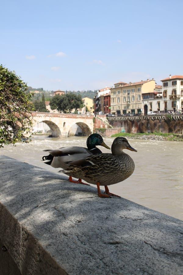 Canards dans la vieille ville images stock