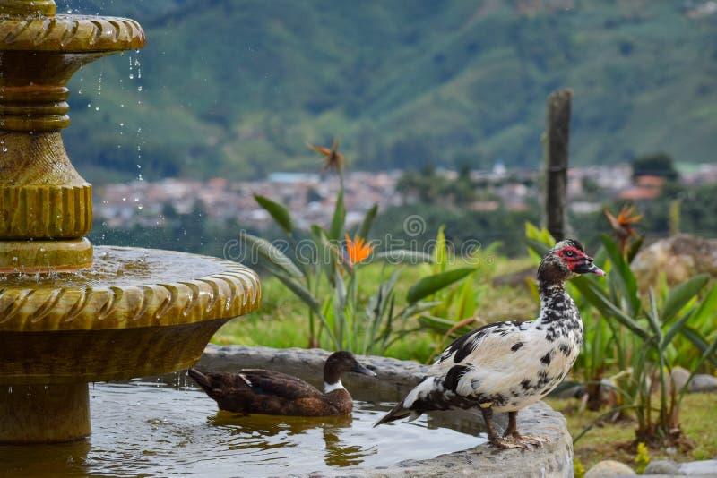 Canards dans le jardin de plan rapproché de fontaine photos stock