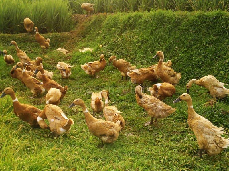 Canards dans les domaines de riz photographie stock