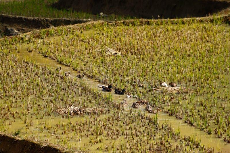 Canards dans les terrasses de riz de Yunnan, Chine images libres de droits