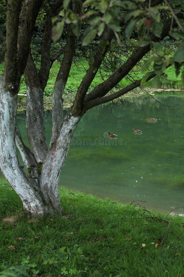 Canards dans un étang au crépuscule images stock