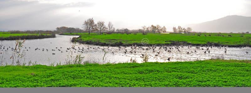 Canards dans un fleuve, Ahula, Israël photographie stock