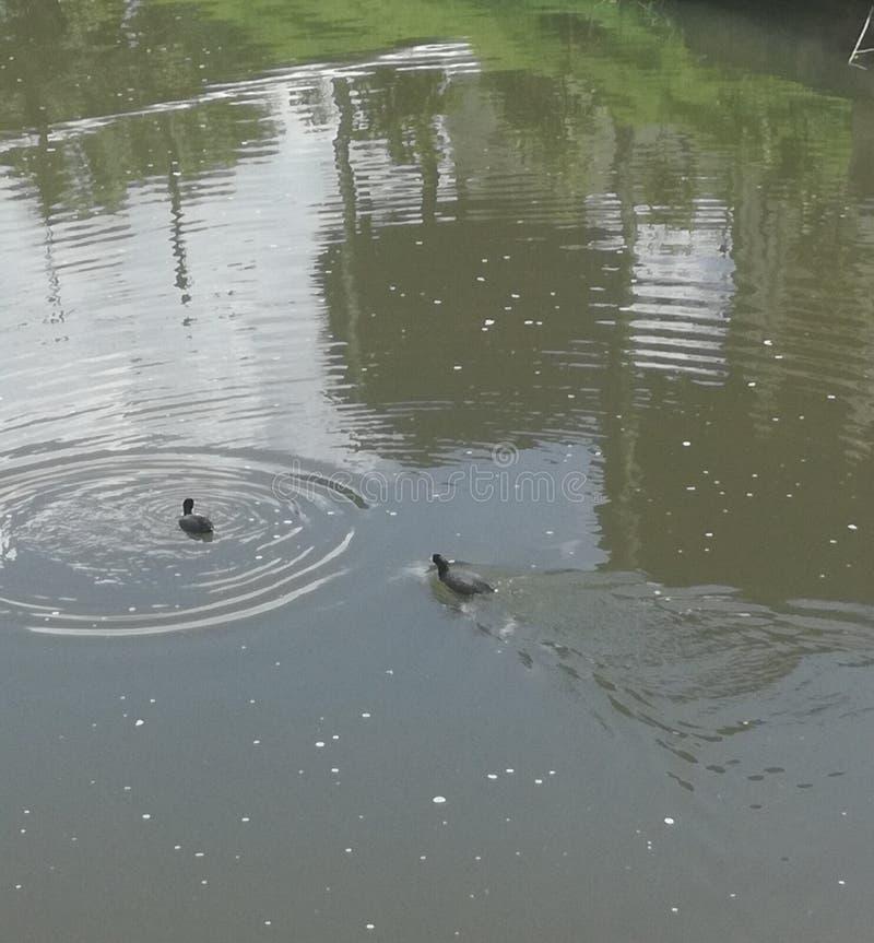 Canards dans un lac image libre de droits