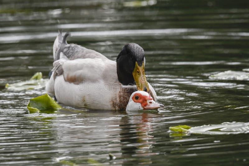 Canards de accouplement au lac photo libre de droits