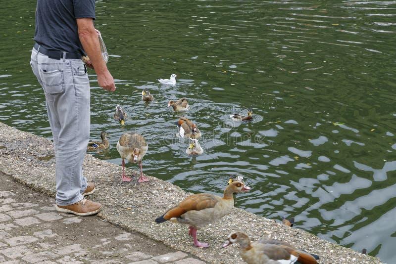 Canards de alimentation photo libre de droits