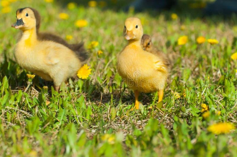 Canards de bébé photos libres de droits