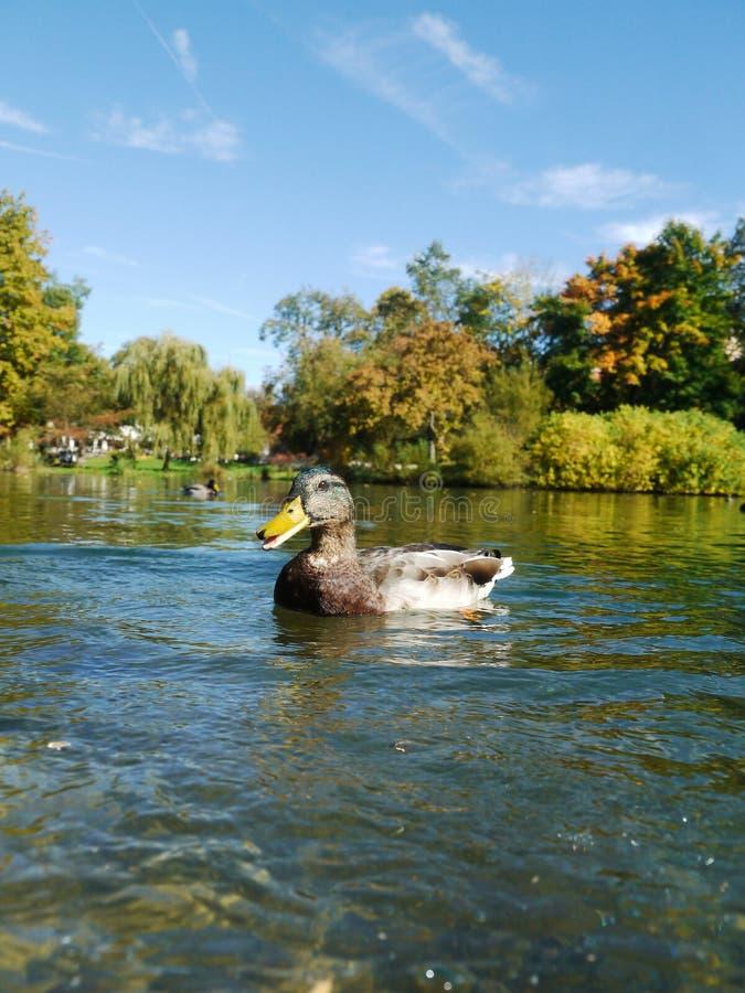 Canards de canard photographie stock