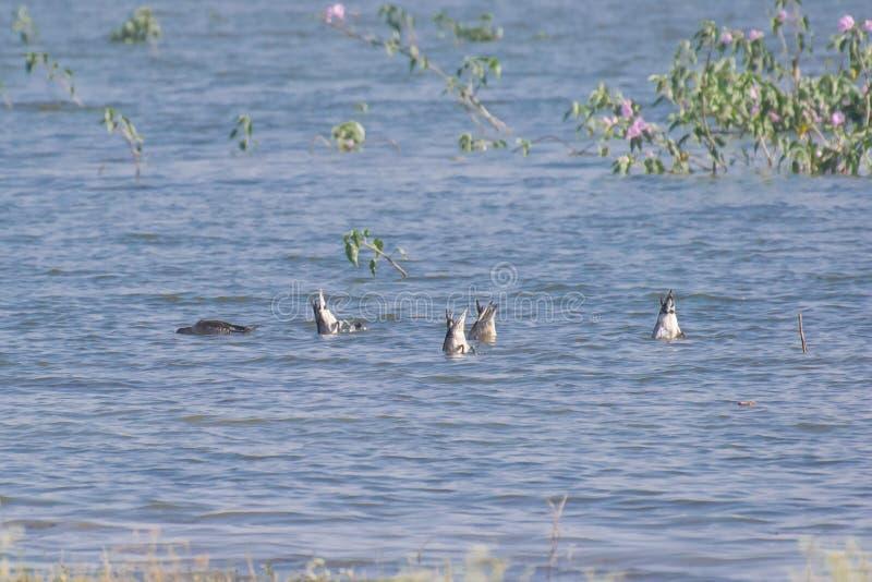 Canards de canard pilet de Norther dans le marécage image stock