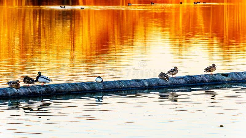 Canards de Mallard à la réserve d'oiseaux de Reifel près de Ladner, AVANT JÉSUS CHRIST, le Canada photo libre de droits