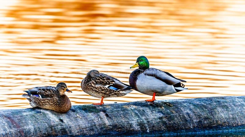 Canards de Mallard à la réserve d'oiseaux de Reifel près de Ladner, AVANT JÉSUS CHRIST, le Canada photos stock