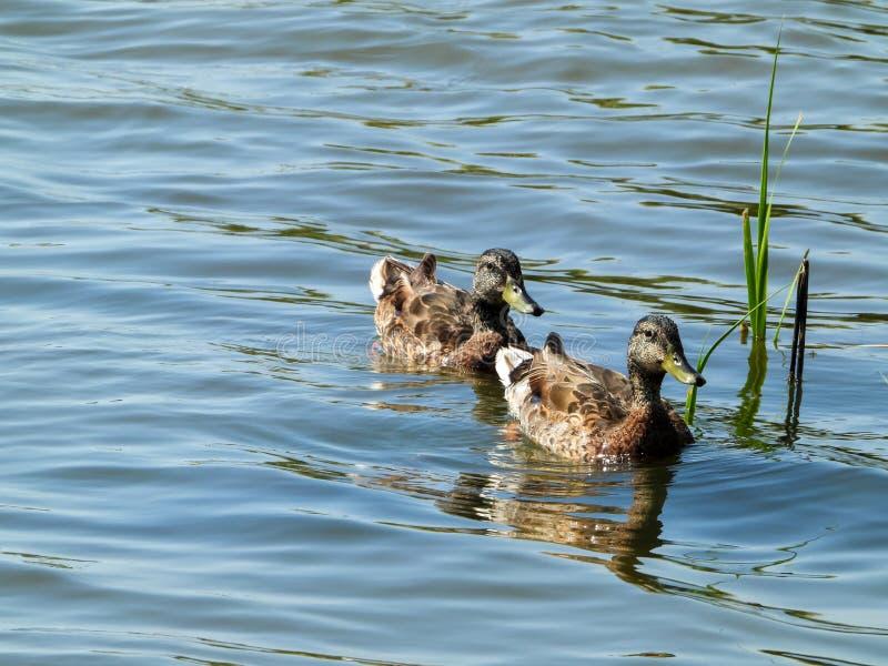 Canards de Mallard dans une rangée photos libres de droits