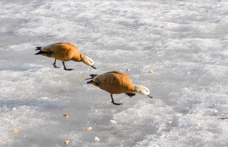 Canards de mandarine sur l'étang d'hiver photographie stock libre de droits