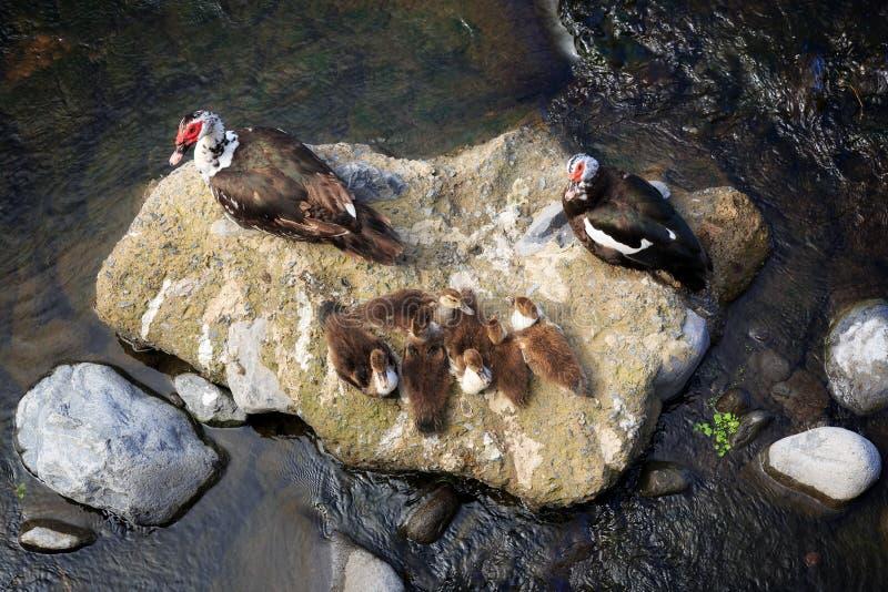 Canards de Muscovy Madère photos libres de droits