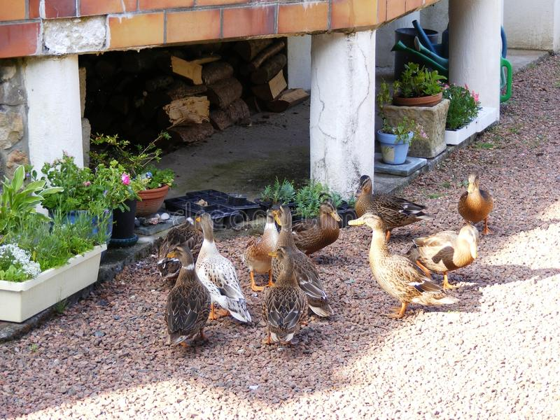 Canards de visite dans le jardin français photographie stock