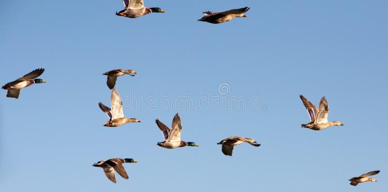 Canards de vol image libre de droits