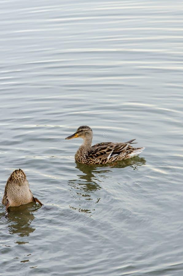 canards deux jeunes images libres de droits