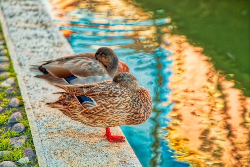 Canards effrayants près de canal de l'eau image stock