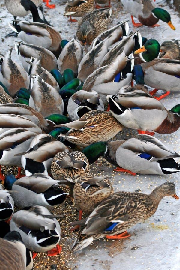 Canards en Estes Park Colorado photographie stock