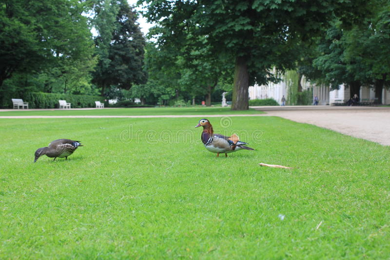 Canards en parc photos libres de droits