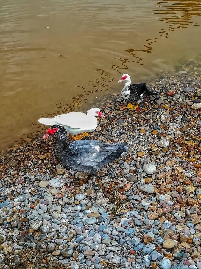 Canards en rivière de l'arrangement naturel du caillot images stock