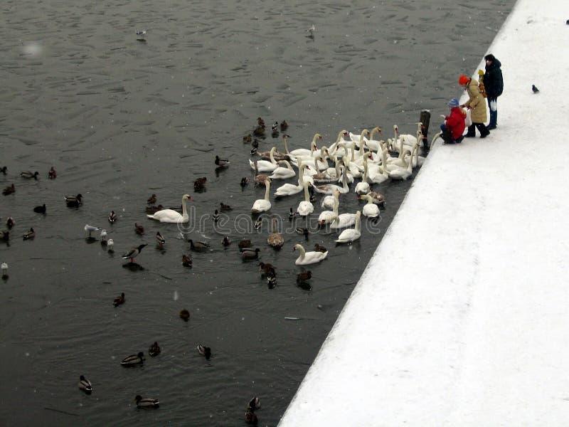 Canards et cygnes alimentants images stock