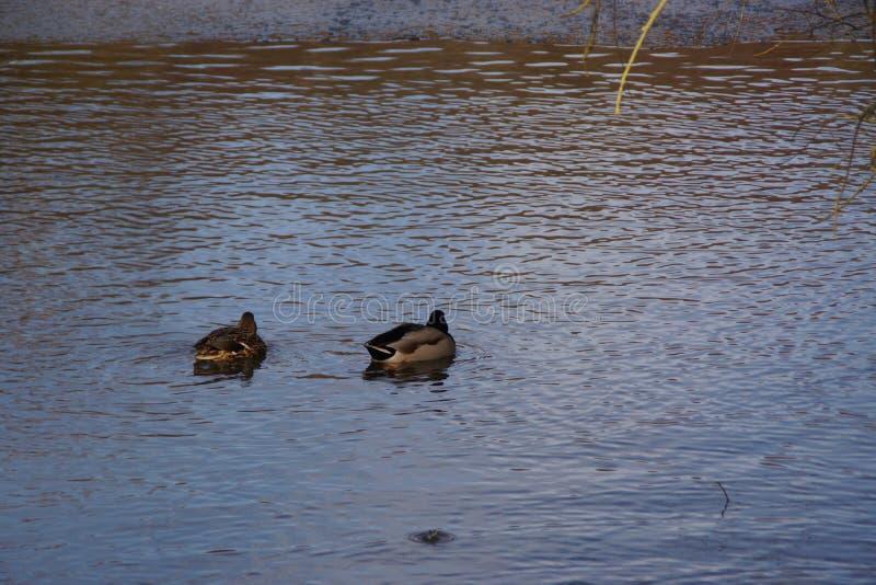 Canards et eau glaciale - Frances photographie stock