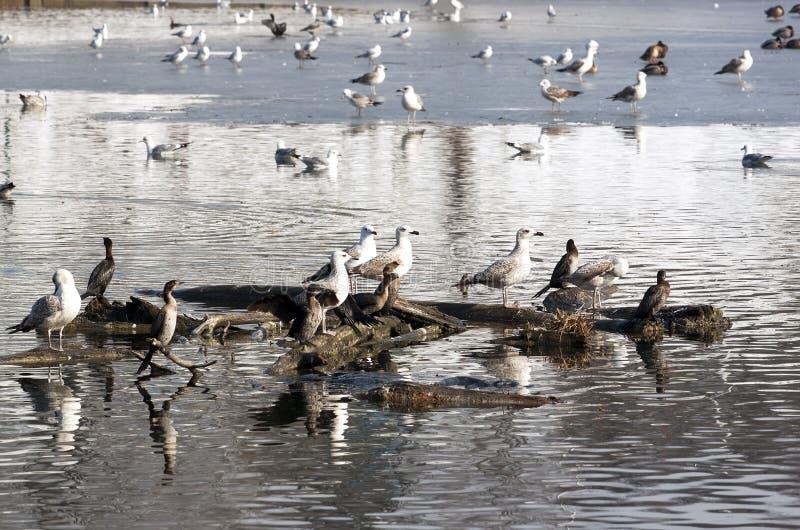 Canards et mouettes photo libre de droits