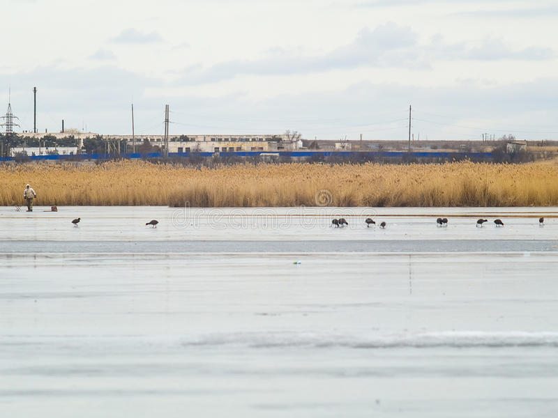 Canards et mouettes sur le lac congelé photos stock