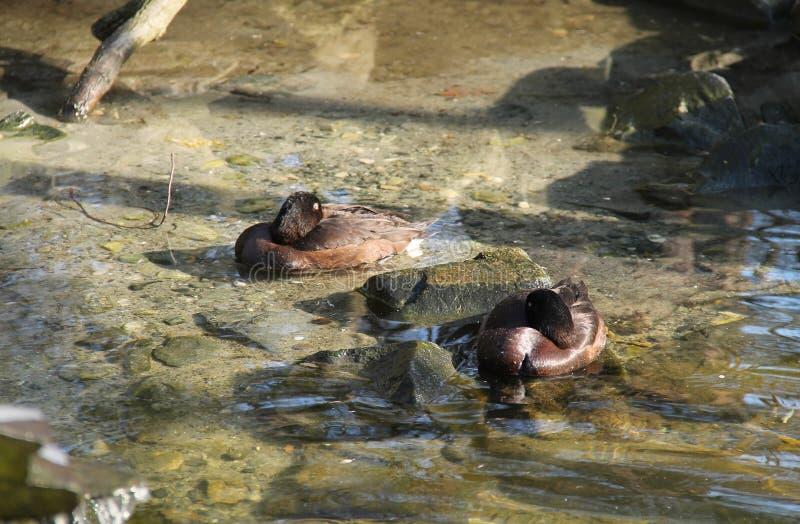Canards ferrugineux photo libre de droits