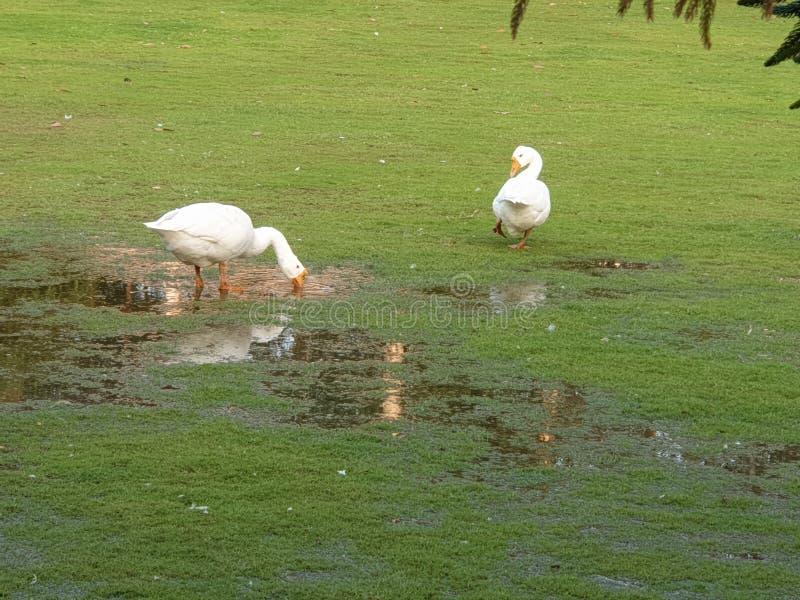Canards gentils dans l'herbe verte images stock