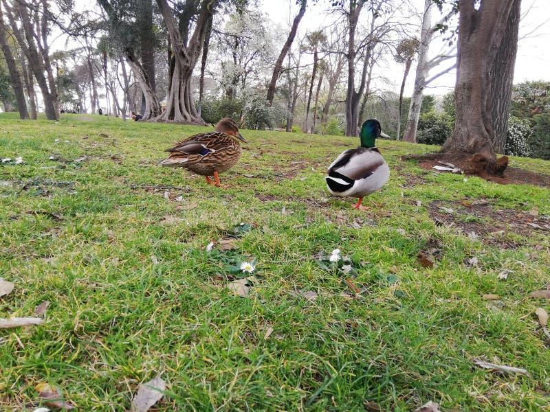 Canards marchant en parc avec des arbres images libres de droits