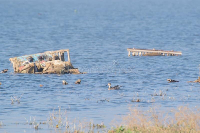 Canards migrateurs et la pollution de marécage images stock