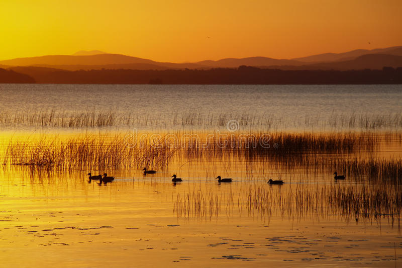 Canards nageant au lac Champlain sunrise images stock