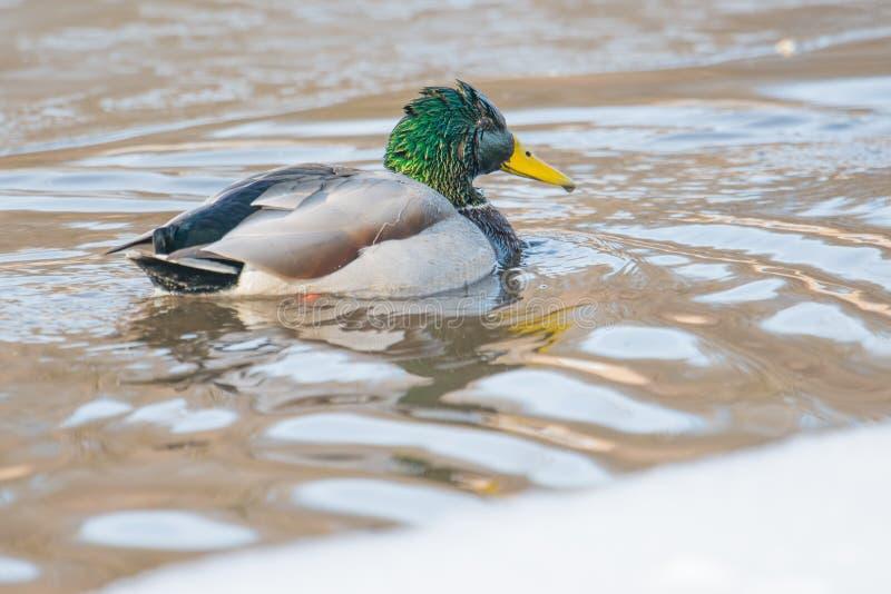 Canards nageant dans la crique glaciale dans le Midwest supérieur photographie stock libre de droits