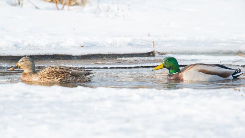 Canards nageant dans la crique glaciale dans le Midwest supérieur photo libre de droits