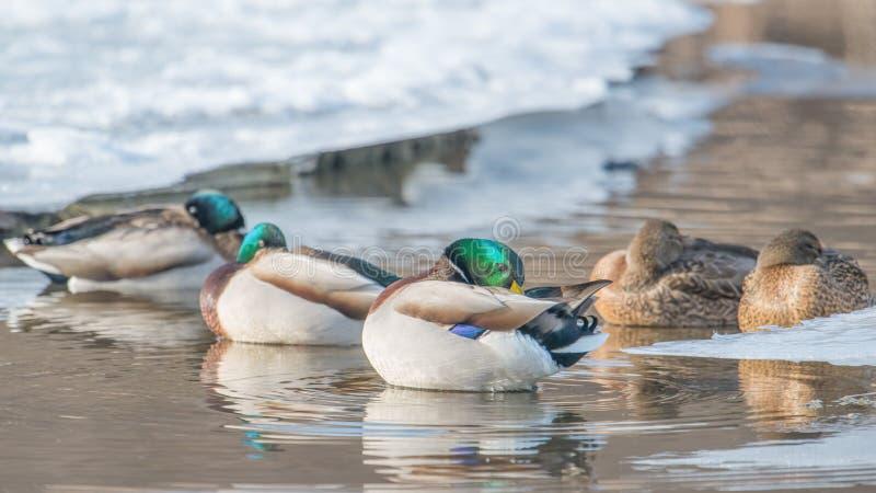 Canards nageant dans la crique glaciale dans le Midwest supérieur images stock