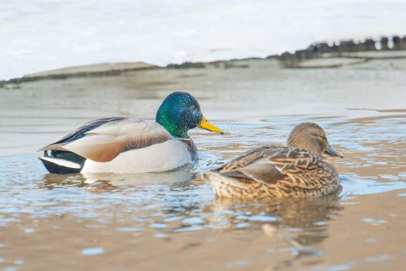 Canards nageant dans la crique glaciale dans le Midwest supérieur photos libres de droits