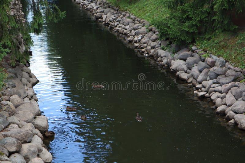 Canards nageant dans un canal de parc l'eau bleue entre les murs en pierre dans un beau jardin de ville images libres de droits