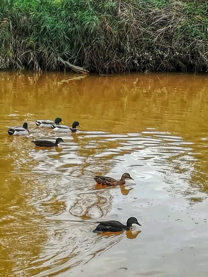 Canards nageant en rivière de l'arrangement naturel du caillot photo stock