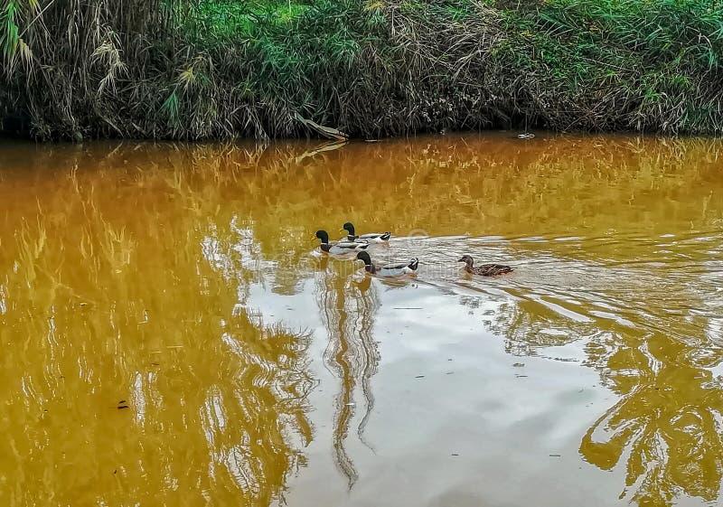 Canards nageant en rivière de l'arrangement naturel du caillot photos stock
