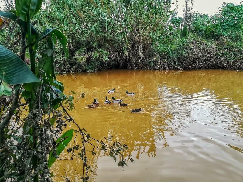 Canards nageant en rivière de l'arrangement naturel du caillot images libres de droits
