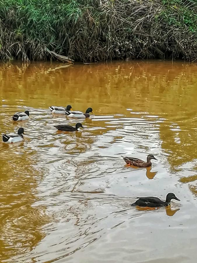 Canards nageant en rivière de l'arrangement naturel du caillot photos libres de droits