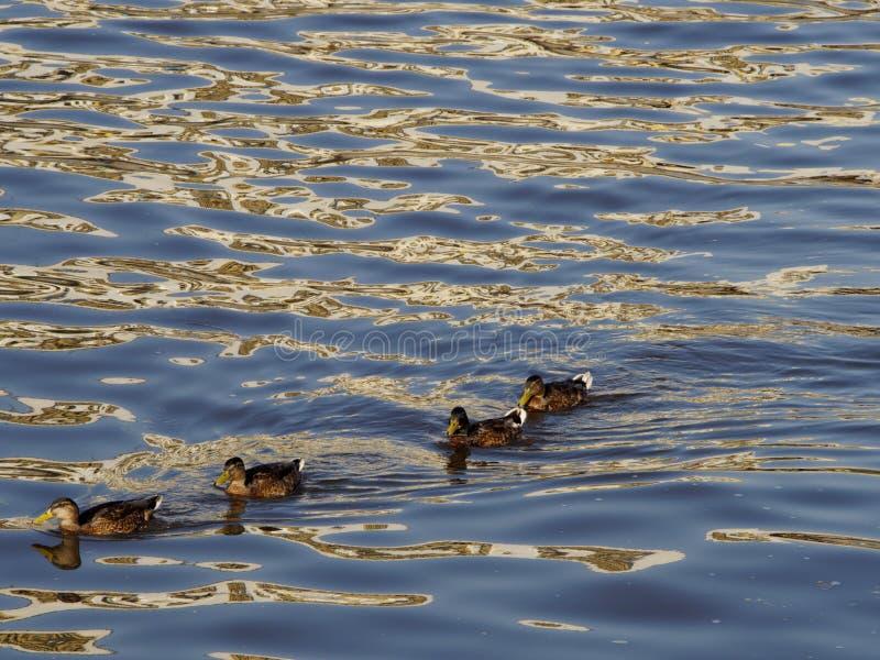 Canards ou canard sauvage flottant un dans le corps de l'eau images libres de droits