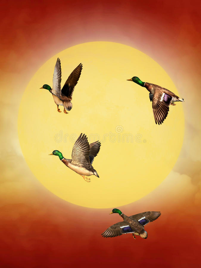Canards sauvages photo stock