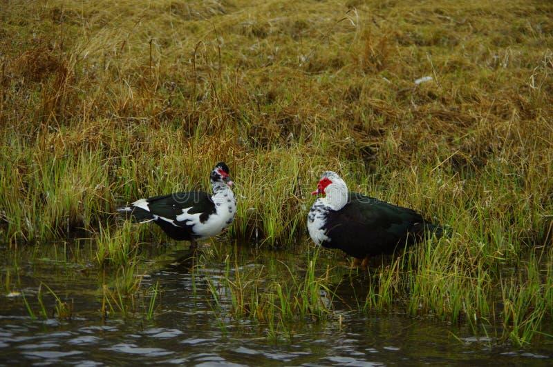 Canards sauvages photos libres de droits