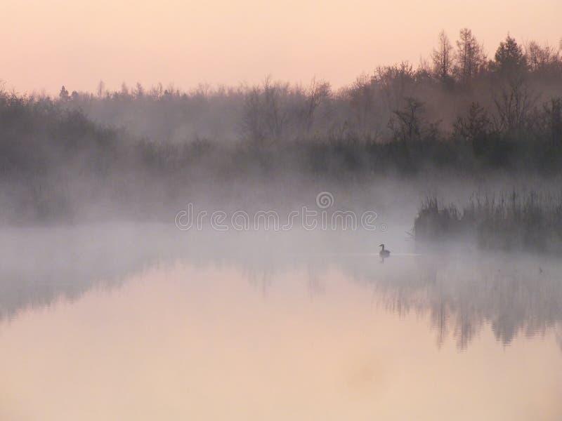 Canards sauvages dans la brume de matin images libres de droits