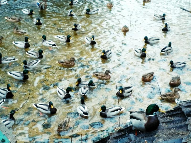 Canards sauvages dans le lac winter photographie stock
