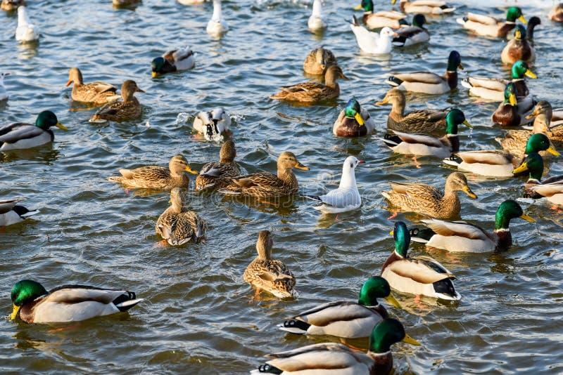 Canards sauvages et mouettes en hiver photo libre de droits